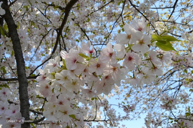 Imperial Palace Gardens sakura Tokio 10