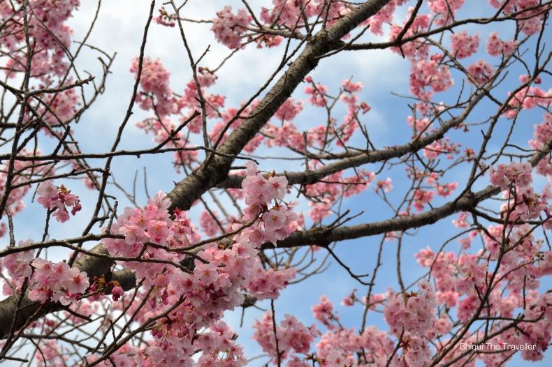 Imperial Palace Gardens sakura Tokio 3