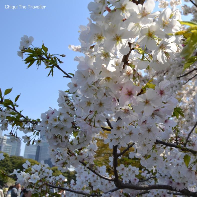 Imperial Palace Gardens sakura Tokio 5