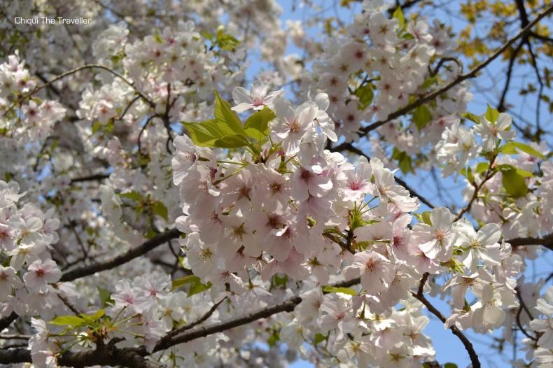 Imperial Palace Gardens sakura Tokio 7