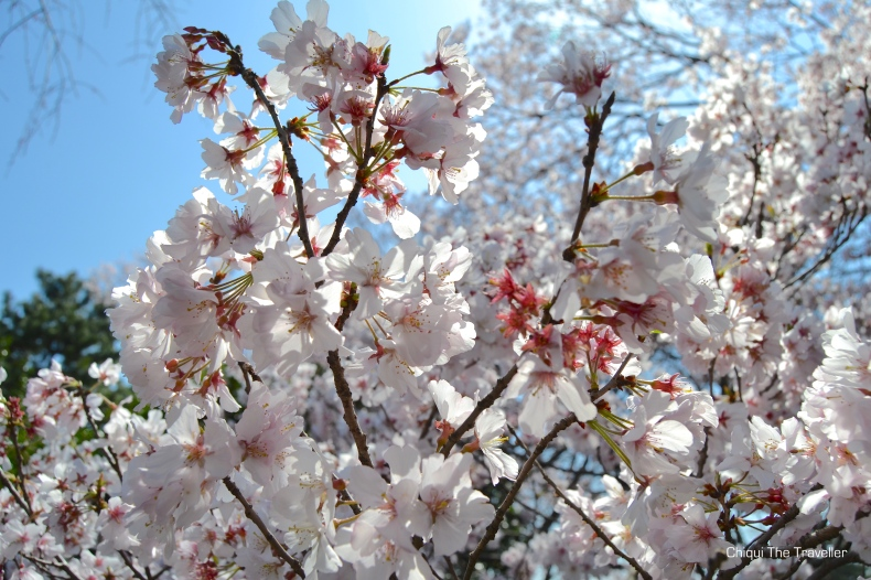 Imperial Palace Gardens sakura Tokio 8