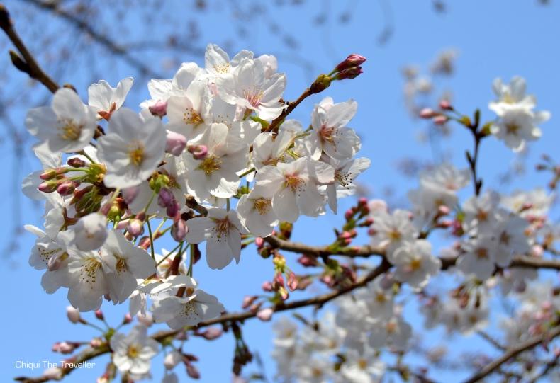 Imperial Palace Gardens sakura Tokio